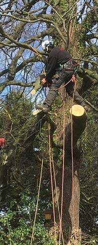 Tree Surgeon cutting a tree