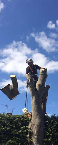 Tree surgeon removes branches